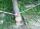 Buk, który przewrócił się na dzieci w Ojcowskim Parku Narodowym, miał przegniłe korzenie