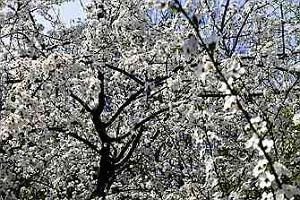 A�ycza (mirabelka) - Prunus
