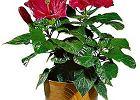 R�a chi�ska - Hibiscus rosa-sinensis