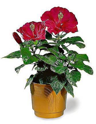 W sprzedaży są róże chińskie skarlane specjalnym preparatem. Po kilku miesiacach przestaje on działać i roślina się rozrasta.