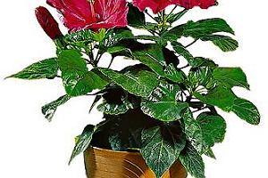 Róża chińska - Hibiscus rosa-sinensis