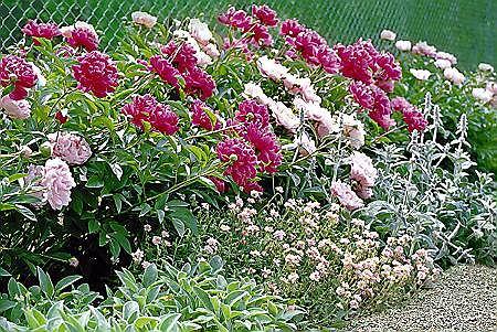 Piwonie z posadzonymi obok niskimi bylinami - czyśćcem wełnistym i posłonkiem tworzą uroczą, zachwycającą obfitością kwiatów rabatę.