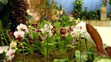 Falonopsisy są najłatwiejsze do uprawy w mieszkaniu.