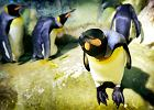 Pingwin kr�lewski pozuje do zdj�cia.