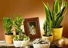 Aloes, agawa, sansewieria, grubosz. Kwiaty doniczkowe - zielonosk�re afrykanki