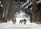 Ministrze Rostowski, w puszczy nie ma samotnych wilk�w
