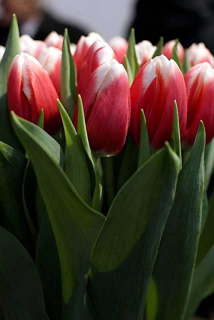 Tulipany Lech Wałęsa