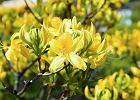 Magnolie, migdałowce, bzy, azalie i inne krzewy ozdobne kwitnące wiosną