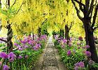 Krzewy ozdobne: złotokap - niedoceniony krzew