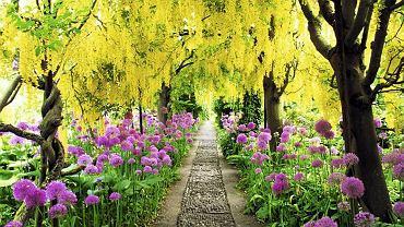 Gęste kwiatostany złotokapu Waterera 'Vossii' posadzonego w dwóch rzędach stworzyły po latach tunel niezwykłej urody