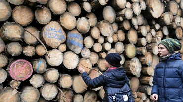 Drzewa wycięte w Puszczy Białowieskiej