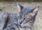Koty �wietnie rozpoznaj� g�os swoich w�a�cicieli, ale maj� nas w nosie - dowiedli japo�scy naukowcy