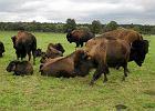RDO�: Jest wst�pne porozumienie w sprawie bizon�w w Kurozw�kach