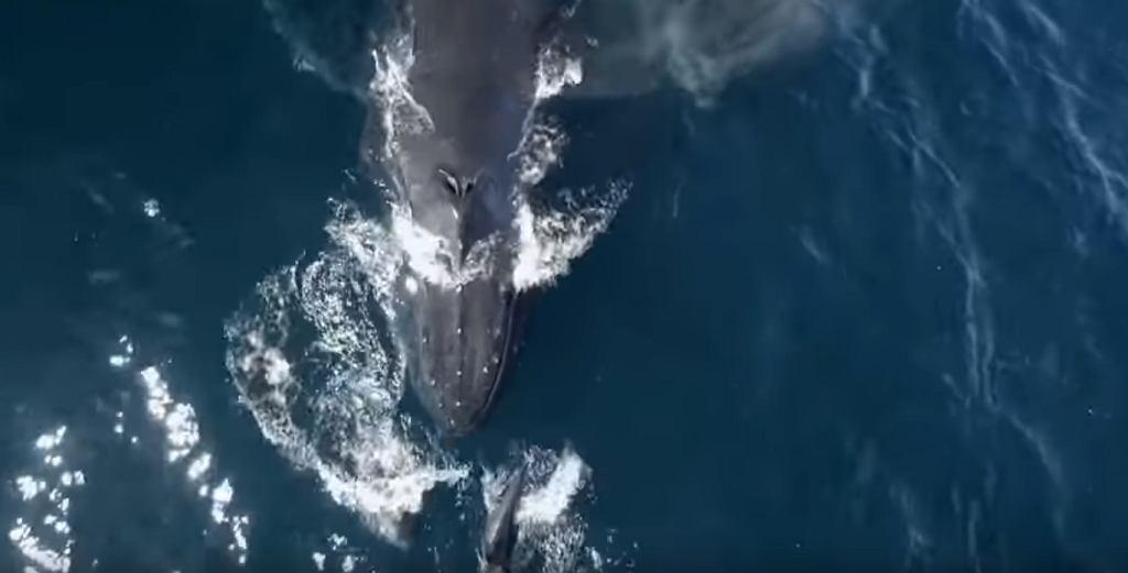 Nakręcili Uroczą Zabawę Delfinów 1500 Ssaków Pływało Z Wielorybem I