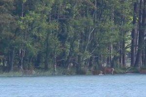 Co mo�na zobaczy� w jeziorze? Np. p�ywaj�ce... jelenie [WIDEO]