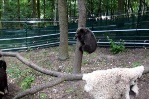 Zoo Poznań. Niedźwiedzica Cisna i pies Bari już się przyjaźnią? Ona łapie go za ogon