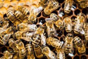 Pierwsza pomoc: użądlenie przez osę lub pszczołę bywa zabójcze nawet dla osób, które nie są uczulone na jad