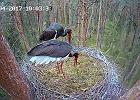 Bociany czarne! Transmisja online z gniazda. Za chwilę pojawią się jaja