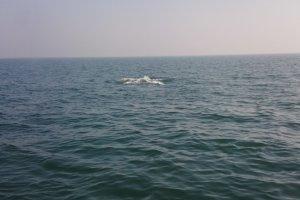 """Wieloryb w Ba�tyku. """"My�leli�my, �e to ��d� podwodna"""" [WIDEO]"""