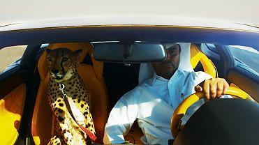 Gepard w lamborghini - kadr z filmu 'Wyścig. Antropologia współczesnej pustyni'