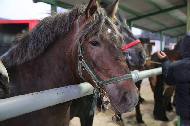 Konie ze Wst�p�w pojad� do rze�ni [ZDJ�CIA, WIDEO]