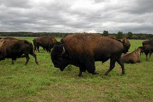 Bizon przegra z �ubrem? Urz�dnicy zakazali hodowli w Kurozw�kach