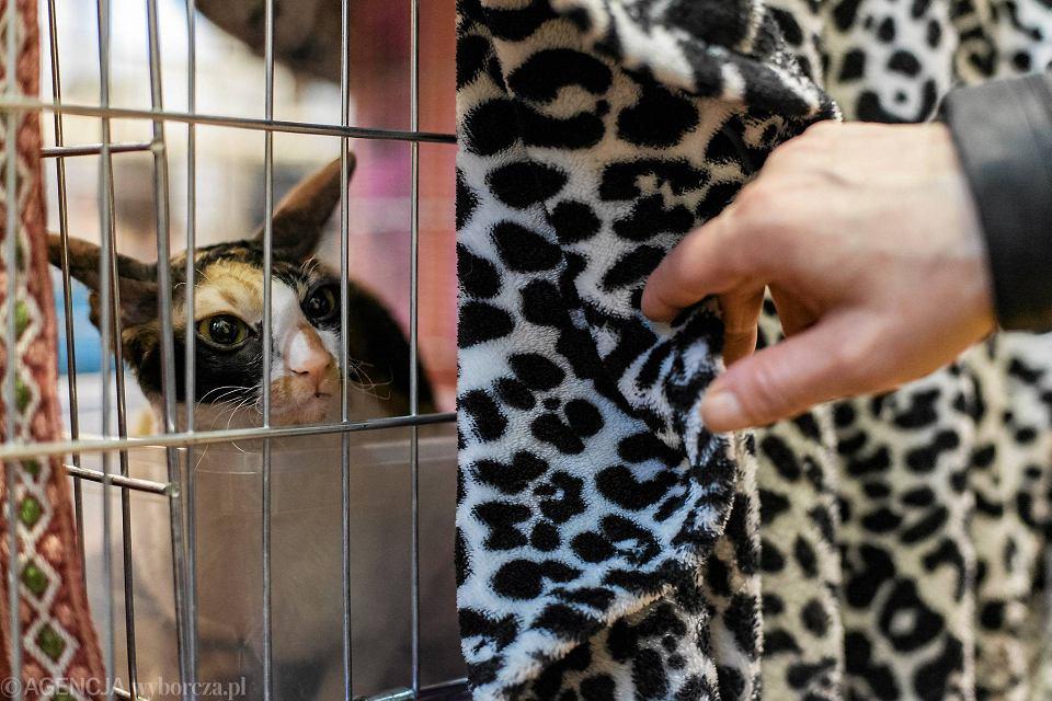Abisyńskie Burmskie I Norweskie Leśne Międzynarodowa Wystawa Kotów