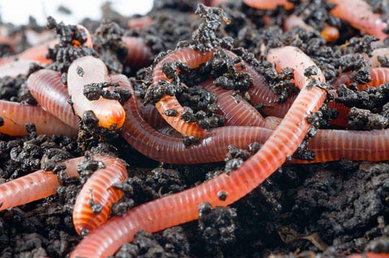 выращиваем червей для рыбалки