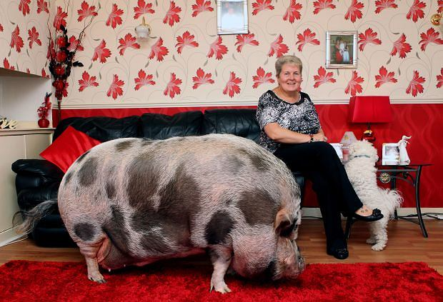 CASCADE NEWS ON BEHALF OF SUNDAY POST Pic shows Catherine Dawes in her livingroom with Dudley and pet dog Dexter. WHEN trusting Catherine Dawes bought a ?micro? pig, little did she know someone was telling her porkies. The 52-year-old forked out ?550 for miniature piglet Dudley, who should never have grown any bigger than a small dog. But almost three years on, he?s 5ft 8in from nose to tail weighing in at over 20 stone!