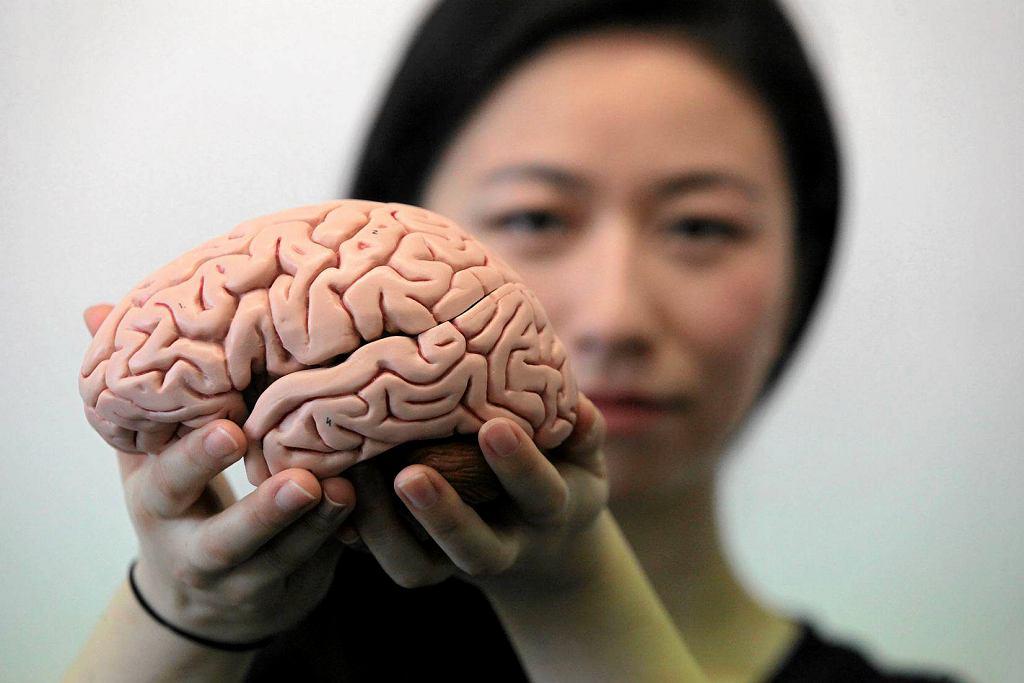 Główna autorka najnowszych badań na temat starzenia się mózgu w tygodniku PNAS - dr Yujiang Wang z Uniwersytetu w Newcastle w Wielkiej Brytanii - trzyma silikonowy model mózgu