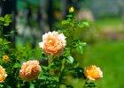 Róże - podstawowe choroby i jak je zwalczać