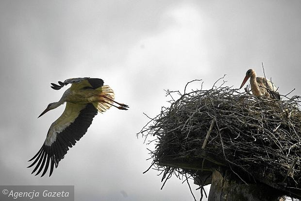 Zagrożone są projekty ochrony bociana