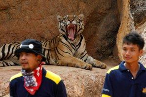 Tajlandia: S�u�by ochrony przyrody usuwaj� tygrysy ze �wi�tyni