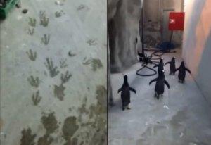 Pięć pingwinów próbowało uciec z ogrodu zoologicznego. Chociaż brzmi to jak scenariusz do kolejnej części filmu ''Madagaskar'', to w duńskim zoo stało się to naprawdę.