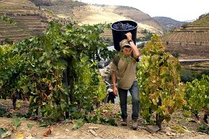 Porto wino. Kategorie i gatunki porto