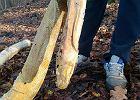 2,5-metrowy pyton tygrysi znaleziony w Częstochowie. Prawdopodobnie ktoś porzucił go w lesie
