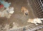 Fabryka psów w kurniku. Chore buldogi miały iść na sprzedaż [ZDJĘCIA]