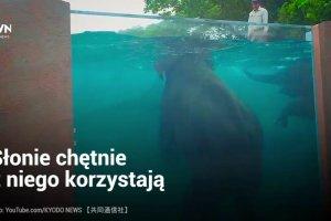 W japońskim zoo powstał specjalny basen dla słoni. Można je oglądać przez jego szklane ściany