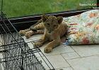 Lwice salonowe nadciągają. A za nimi karakale, pumy, tygrysiątka...