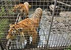 Dramat pod Śremem. Tygrysy i lampart od czterech dni nic nie jadły. Zostały bez opieki