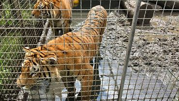 Tygrysy w nielegalnej hodowli pod Śremem
