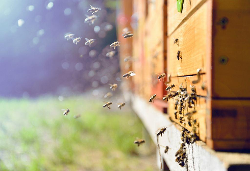 Pszczoła i osa, bąk i trzmiel. Te gatunki owadów są najczęściej mylone