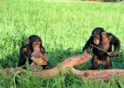 Czy�by szympansy by�y religijne? Maj� swoje �wi�te drzewa - odkryli naukowcy