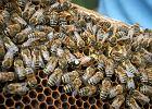 Pszczoły na dachy. Będą ule na wrocławskich budynkach