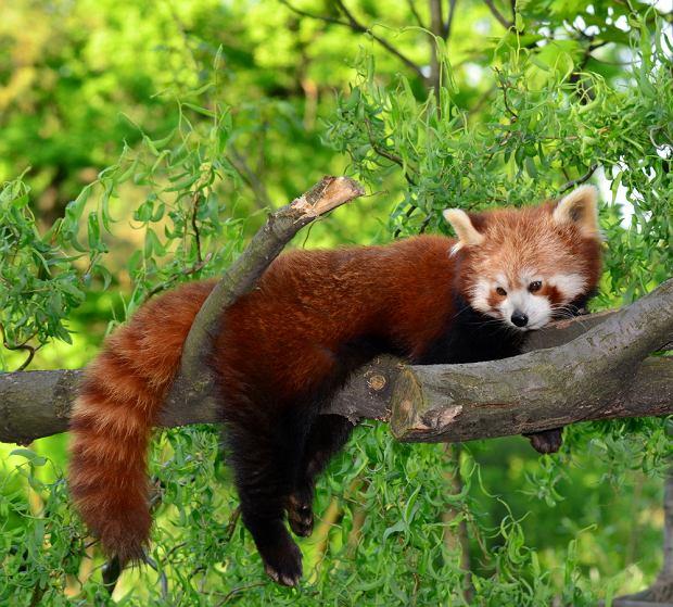 http://bi.gazeta.pl/im/3/10502/z10502713Q,panda-mala--panda-czerwona.jpg