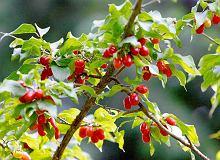 Dereniówka z jagodami - ugotuj