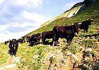 Szwajcarskie agroatrakcje - walki kr�w i tradycyjny wyr�b sera