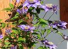 Ro�liny kwitn�ce dwukrotnie w ci�gu roku