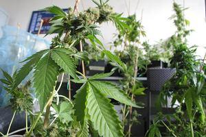 Handlował w Oleśnicy marihuaną