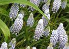 Szafirek zwiastunem wiosny - gatunki i odmiany
